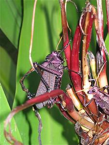 Een soort sprinkhaan. Tortuguero, Costa Rica.