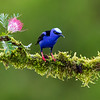 Red-legged Honeycreeper (male)