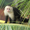 Capuchin monkey, Manuel Antonio, Costa Rica