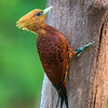 Chestnut Coloured Woodpecker (female)