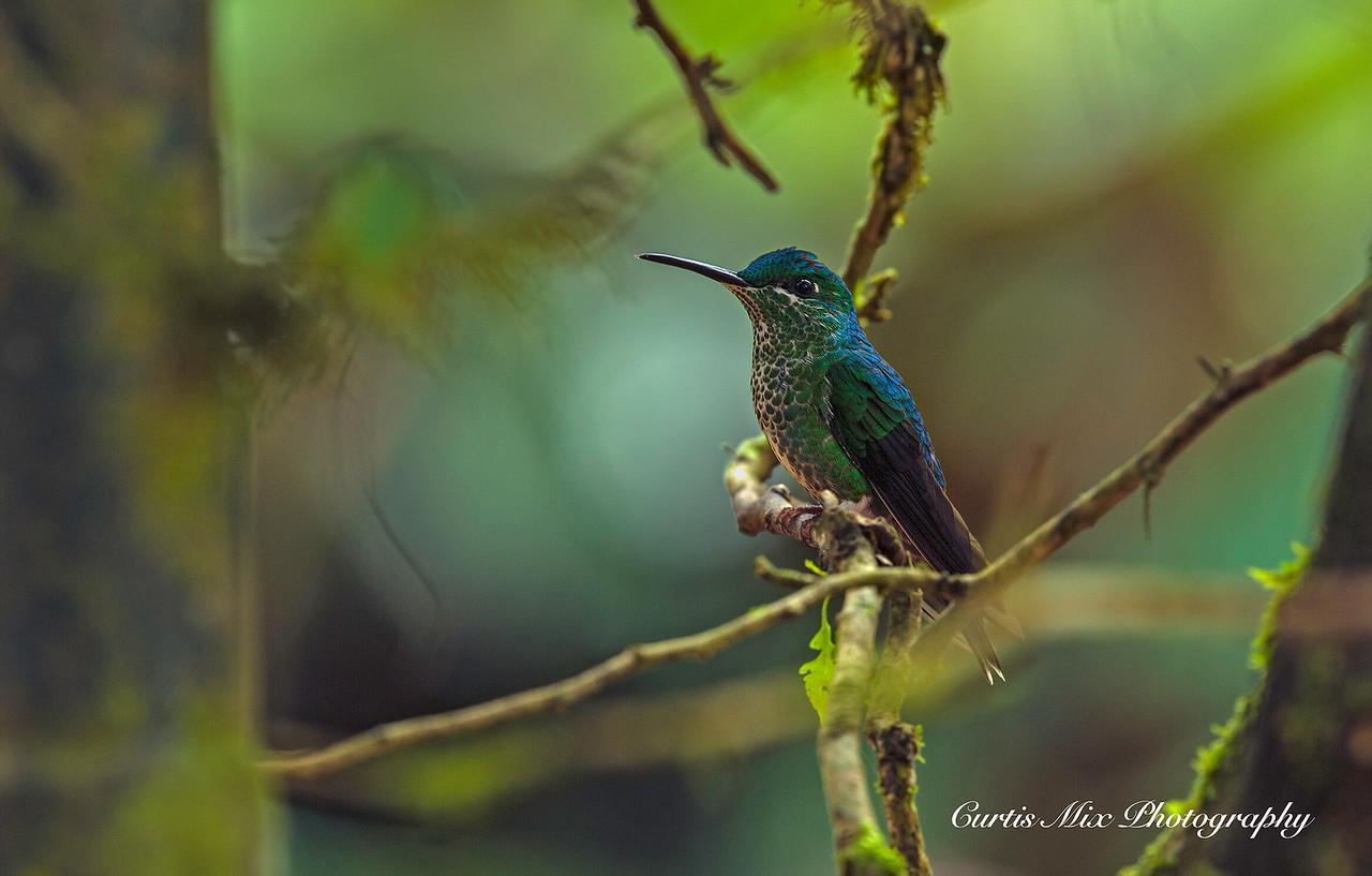 Green Violetear Hummingbird.