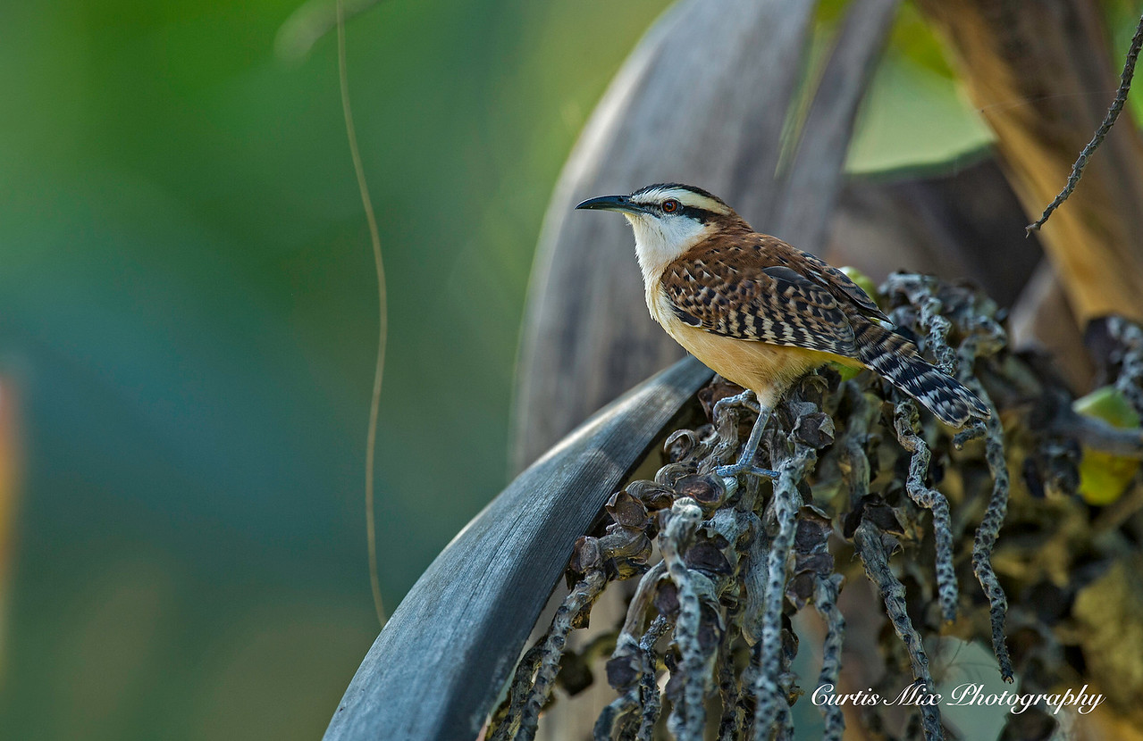 Rufous-naped Wren.