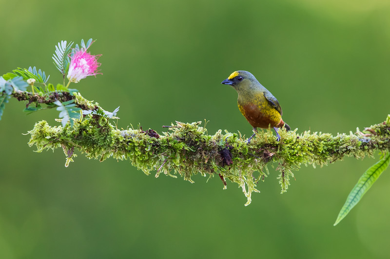 Olive-backed Euphonia (male)