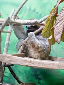 Shy sloth