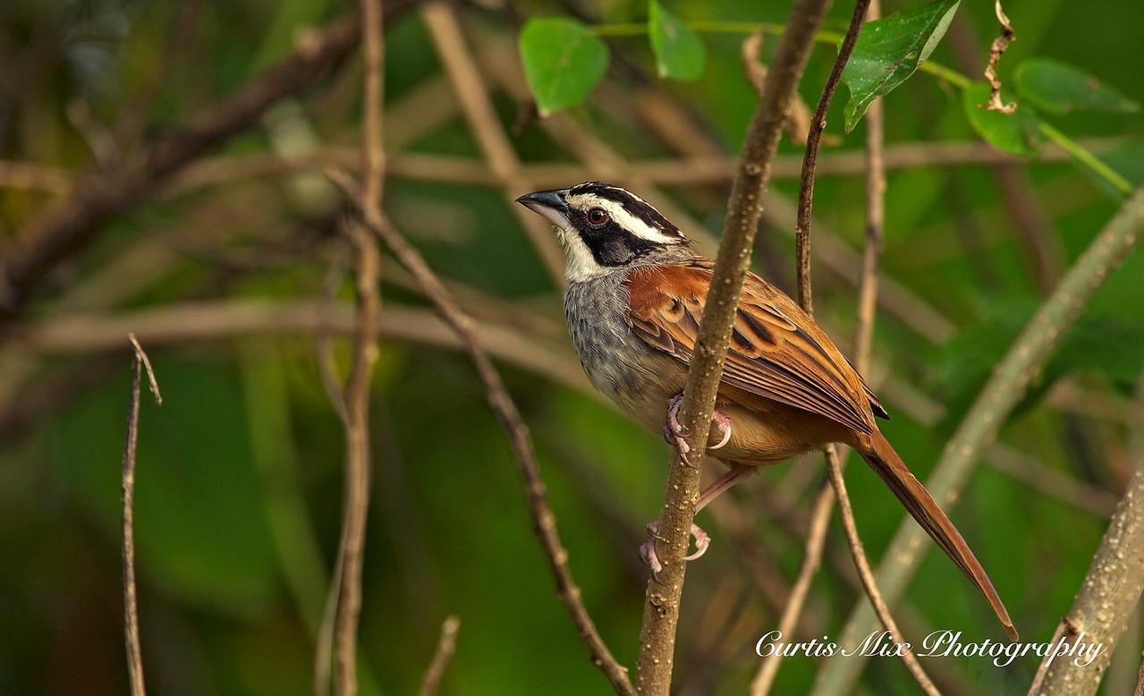 Stripe-headed Sparrow.