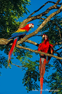 Scarlet Macaws.