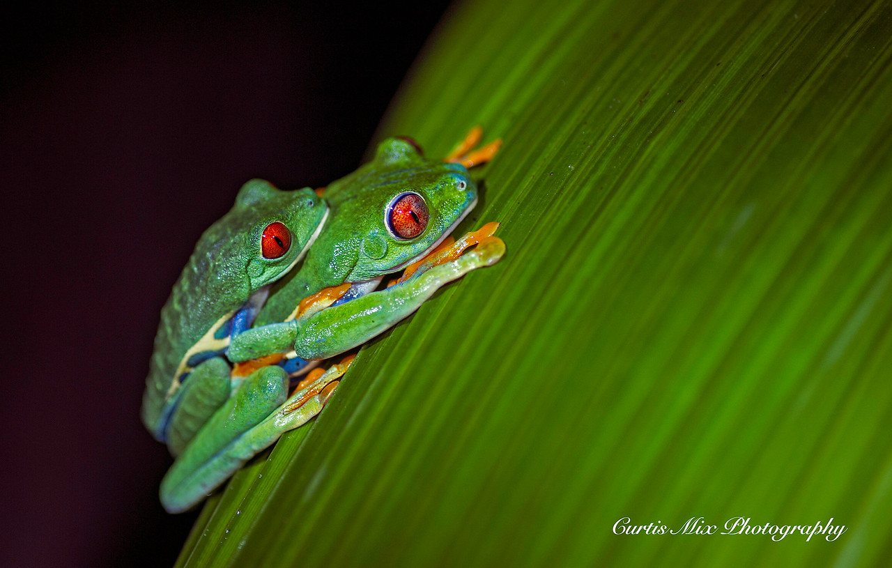 Red-eyed Tree Frogs.