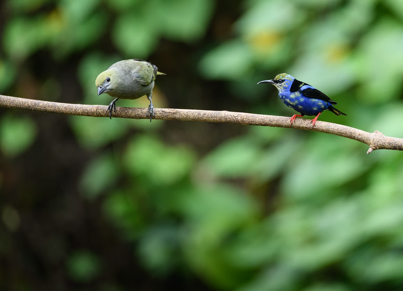 Palm Tanager & Red-legged Honeycreeper