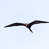 Magnificent frigatebirds were all over the place!