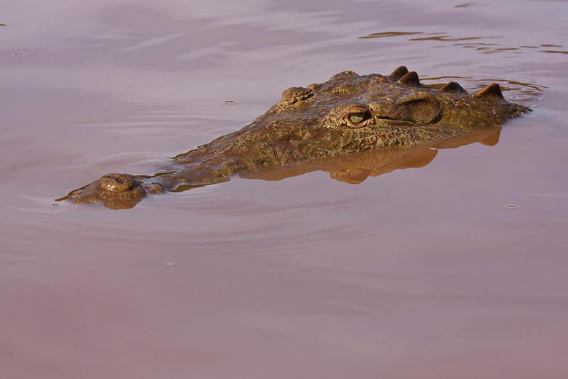 Cocodrilo (<em>Crocodylus acutus</span></em>)/ American crocodile