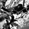 Mantled Howler (Alouatta palliata) or Golden-mantled Howling Monkey
