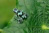 Rana verde y negra (<em>Dendrobates auratus</span></em>) / Green And Black Poison Frog