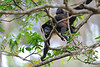 Howler monkey mom and kid
