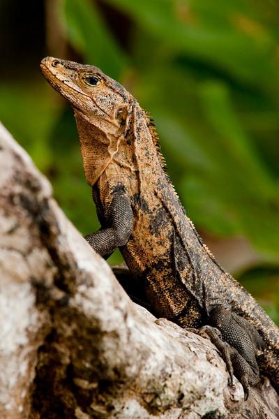 Black Spiny-tailed Iguana (Ctenosaura similis) or Black Iguana