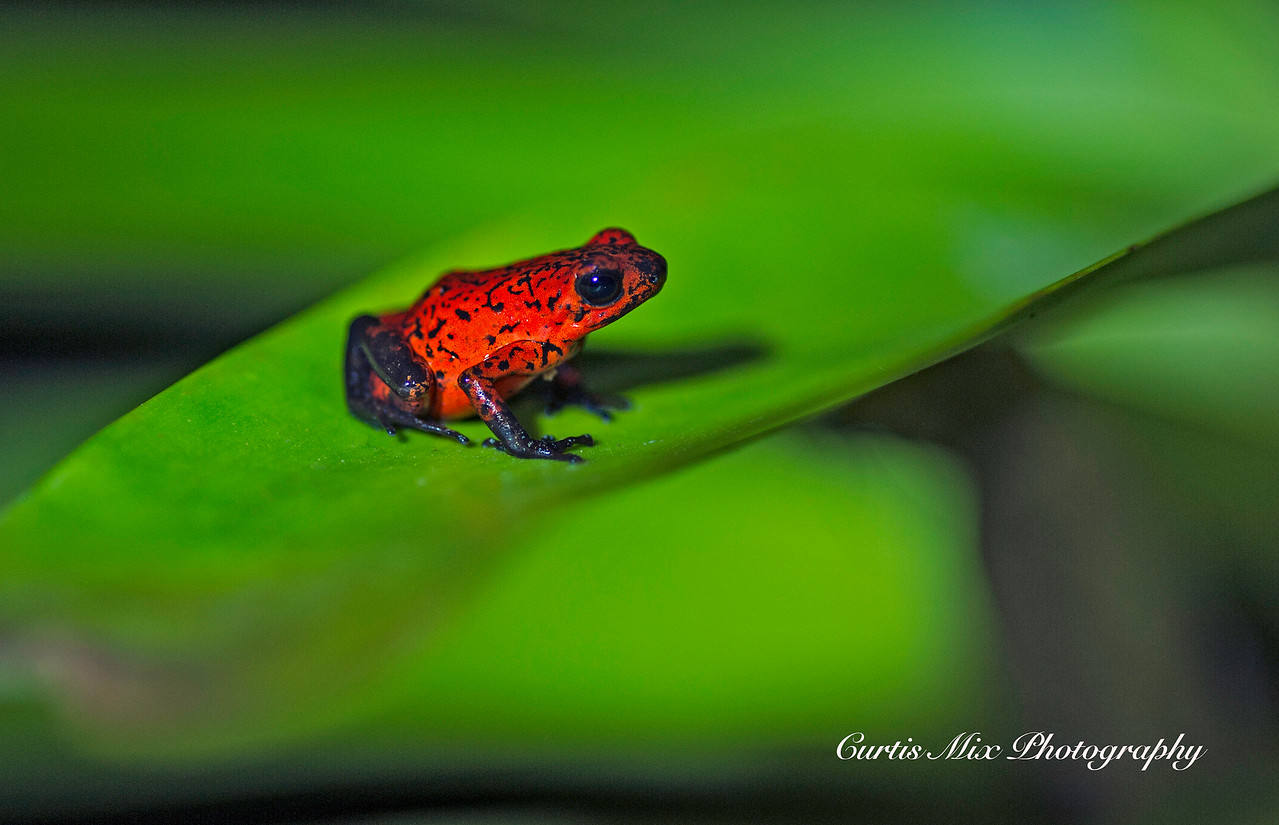 Strawberry Poison Frog.