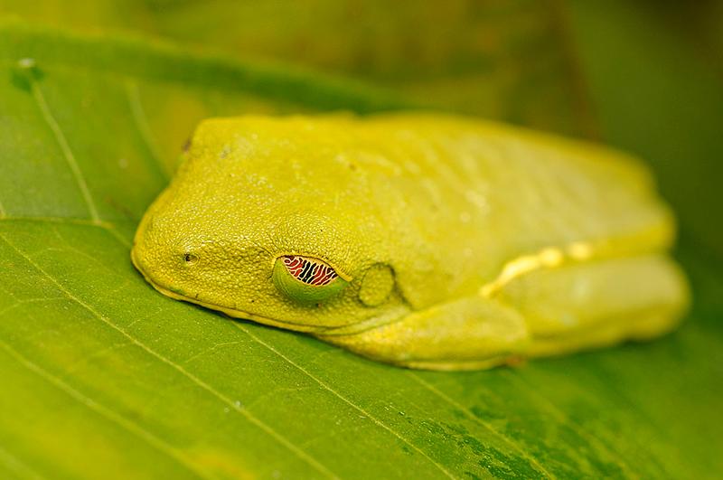 Ranita de ojos rojos durmiendo(<em>Agalychnis callidryas </span></em> )/ Red-eyed tree frog