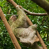 Brown-Throated Sloth (Bradypus variegatus)
