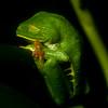 Red-eyed Tree Frog (Agalychnis callidryas) 3