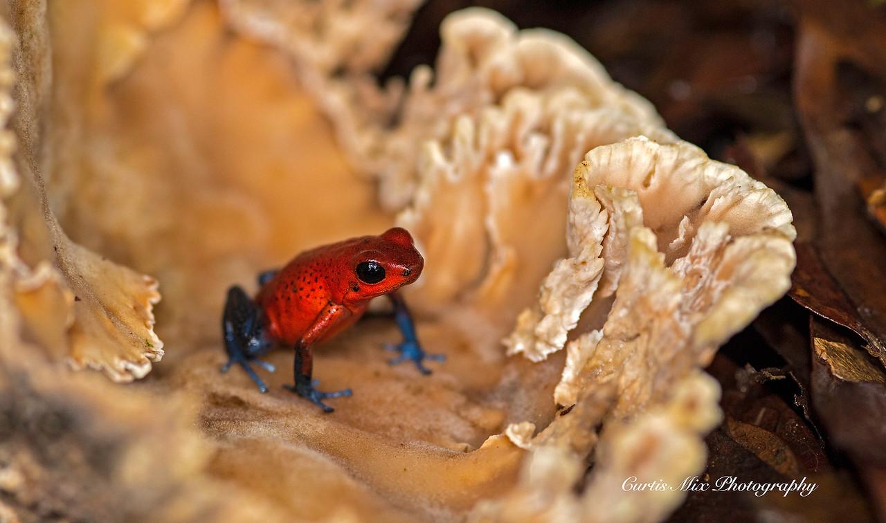 Strawberry poison frog.