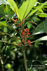 Coffee Related Plant, Pyscotria sp., Rain Forest Vegetation, Lake Coter Eco Lodge, Private Biological Reserve, Northern Pacific Mountains, Arenal Lake Region, Costa Rica, Central America