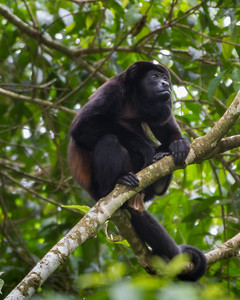 MantledHowlerMonkey_08Mar2012_0227_SelvaVerde
