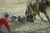 bullfight amateur torero goes down