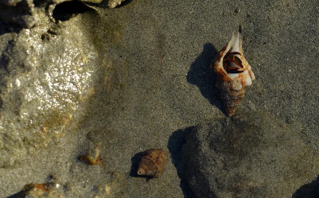 Hermit crab, Playa Danta