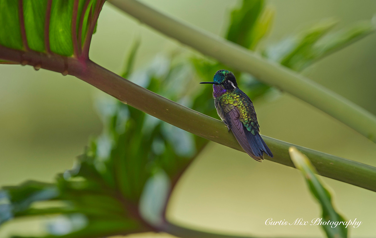 Purple-throated Mountain gem Hummingbird.