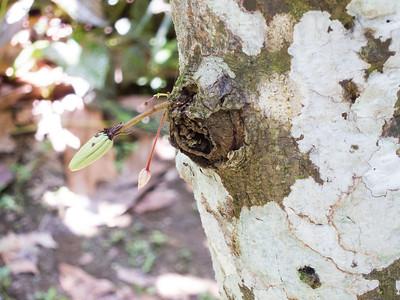 Small cacao pod