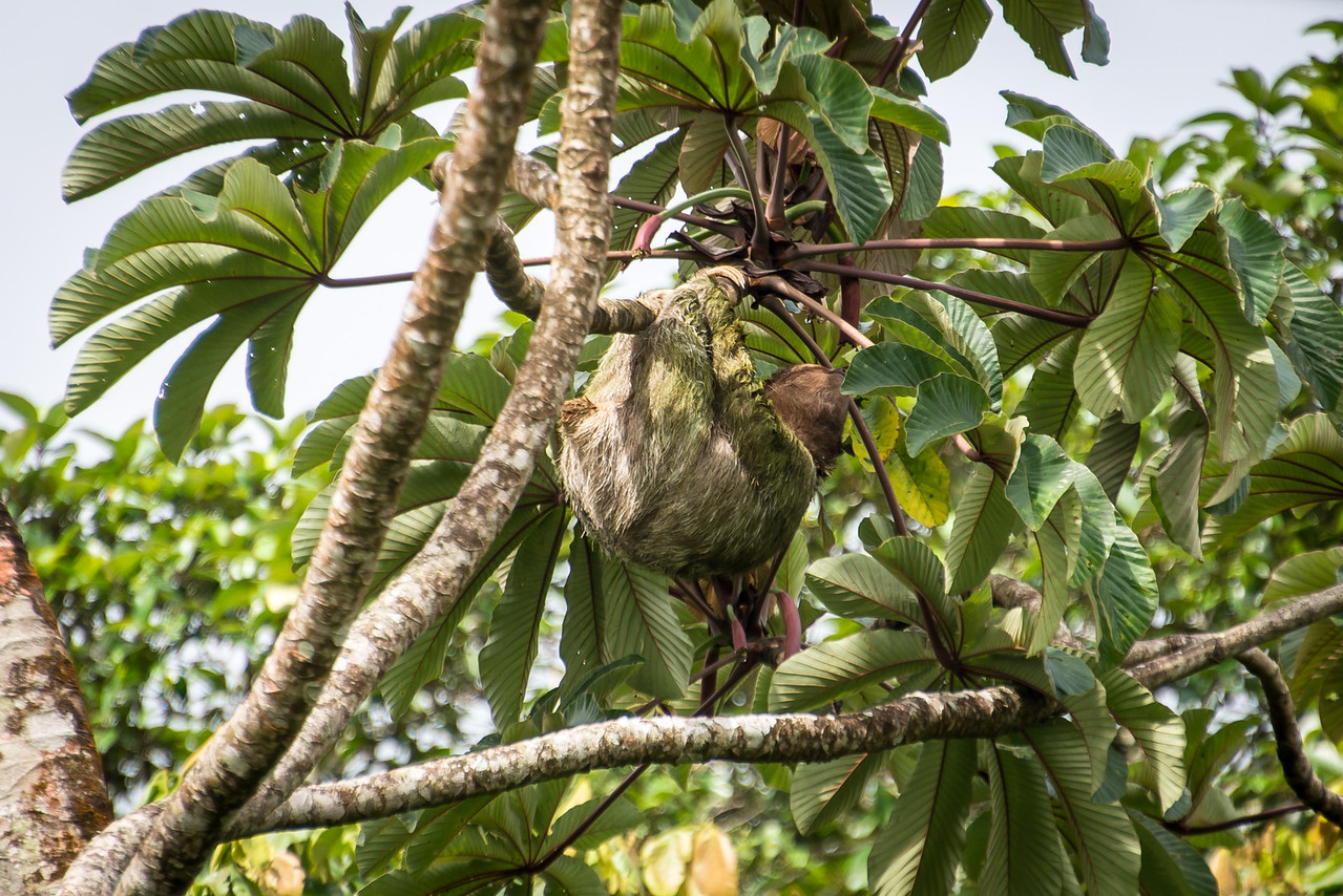 Sloth in Guanacaste, Costa Rica - December 2014