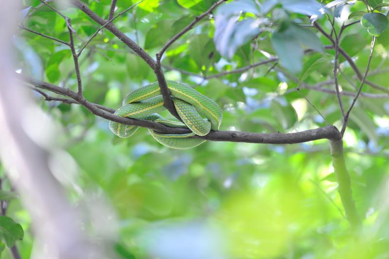 Python in tree