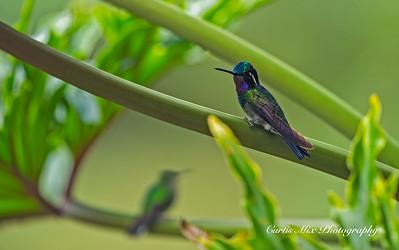 Purple-throated Mountain-gem Hummingbird.