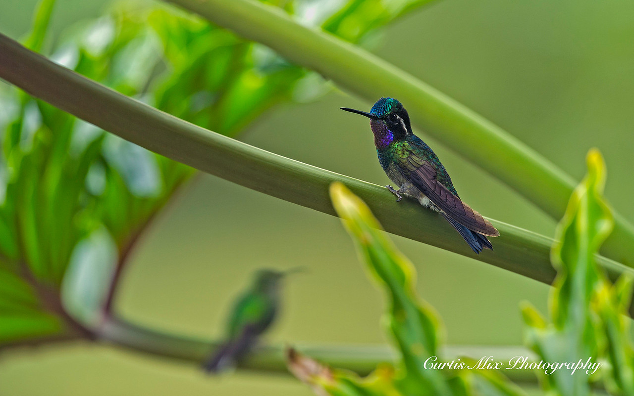 Purple-throated Mountain-gem Hummingbird.