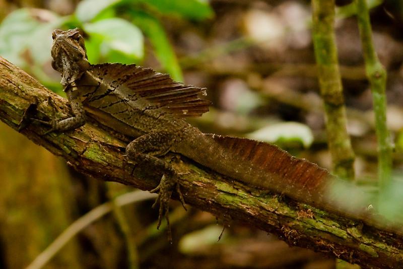 Common Basilisk (Basiliscus basiliscus) a.k.a. Jesus Lizard or Jasus Christ Lizard