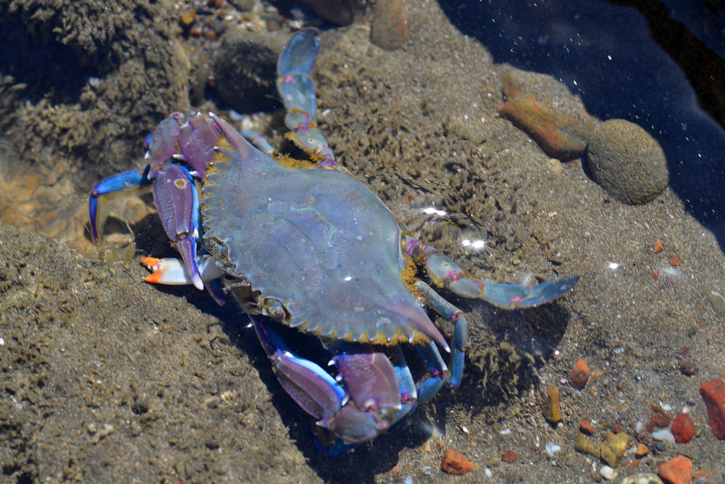 Purple crab, Playa Santa Teresa