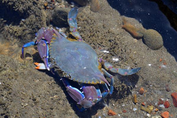 Purple crab, Playa Santa Teresa