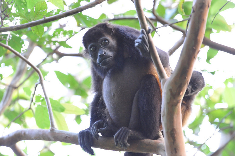 howler monkey and kid watch