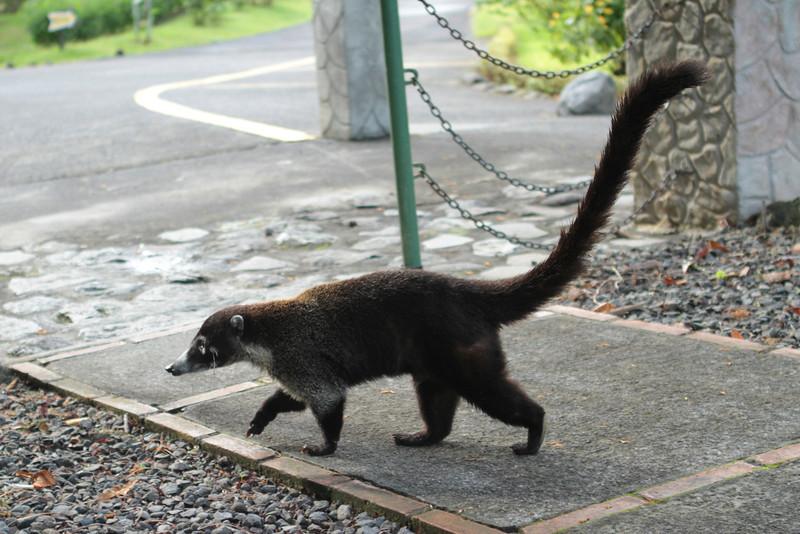 Tayra (Weasel)