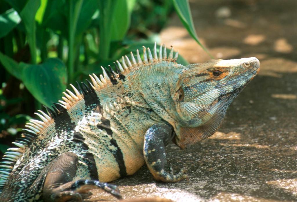 Iguanas in Tamarindo Costa Rica