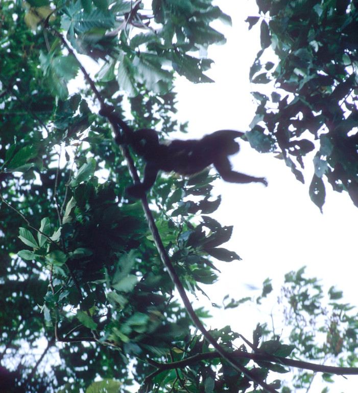 Howler monkeys fly in Costa Rica