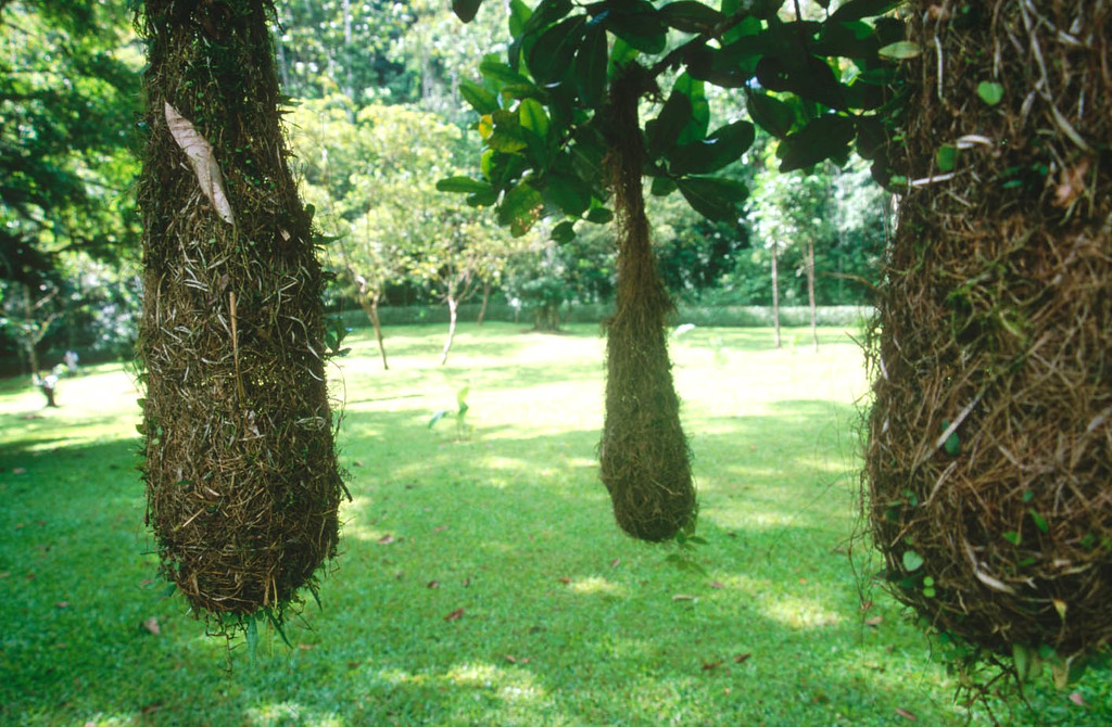 Hanging birds nests near El Rio Pacquare Costa Rica