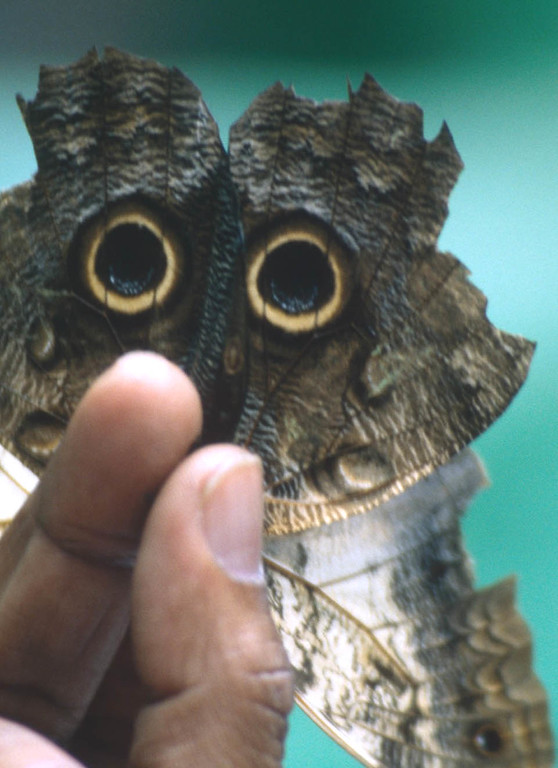 Owl butterfly held by owner in Costa Rica