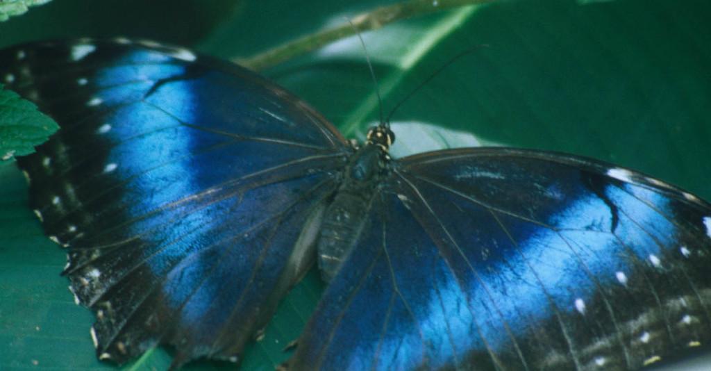 Blue butterflies in Costa Rica