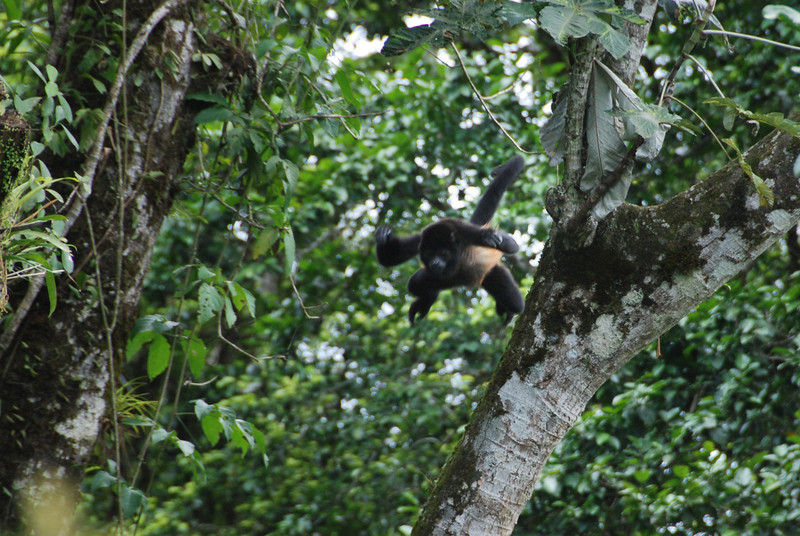 Howler monkey, jumping.  Catching this shot was pretty random.