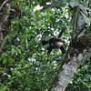 Howler monkey, jumping.  Catching this shot was pretty random.
