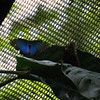 Have you ever tried to take a picture of a butterfly while it was flying?  This beautiful blue Morpho butterfly is exquisite in the bright sunlight.