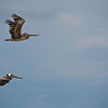 Pelicans near Cabuya.