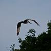 Pelican near Cabuya.