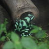 Poison Dart Frog.  For all your poison dart needs.