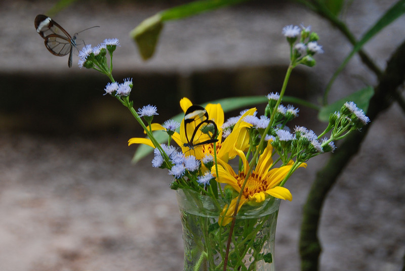 Flowers, fruit, sugar water, and other butterfly niceties were placed around the habitats.